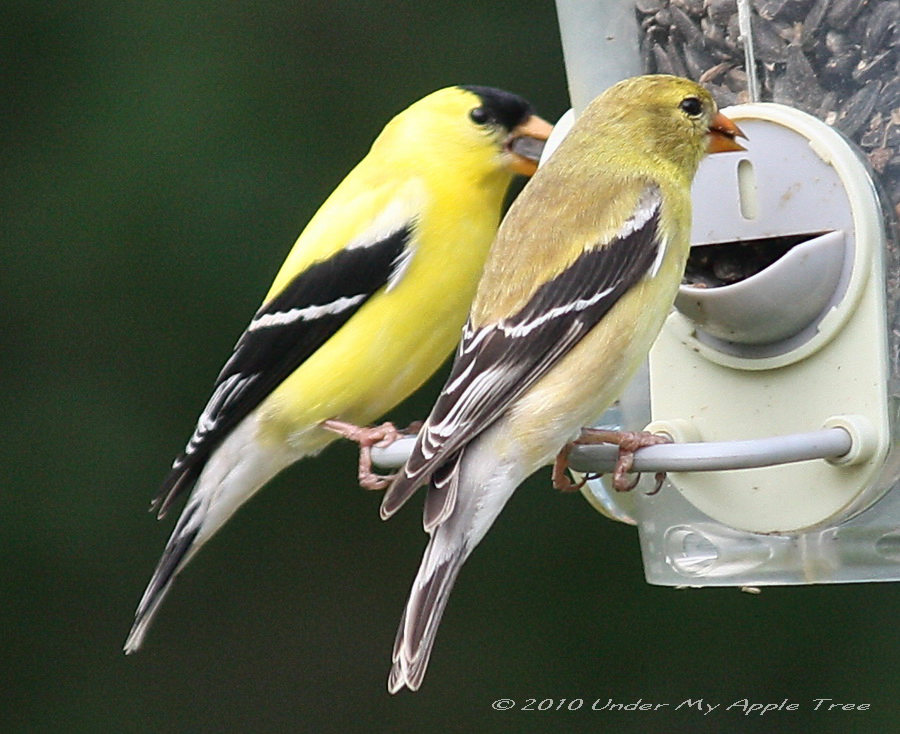 American goldfinch male and female