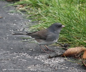 Weekend Birding: Dark-eyed Junco