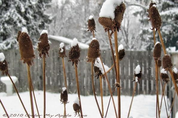 Yellow Coneflower in Winter
