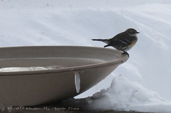 Yellow-rumped Warbler on Heated Bird Bath