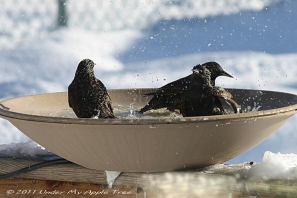 Starlings in Heated Bird Bath