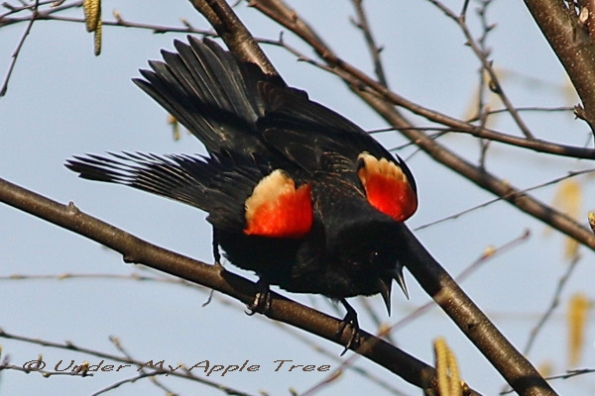 Red-winged Blackbird Male