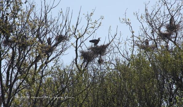 Blue Heron Rookery