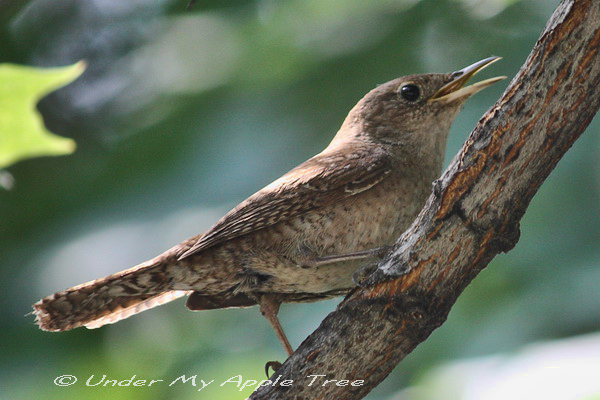 What Do Wrens Sound