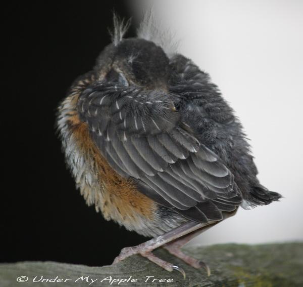 Weekend Birding Fledgling Robin Under My Apple Tree