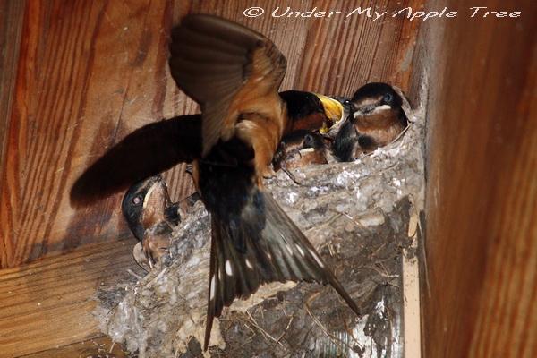 Weekend Birding: Barn Swallow Nestlings | Under My Apple Tree