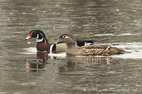 Wood Ducks breeding plumage