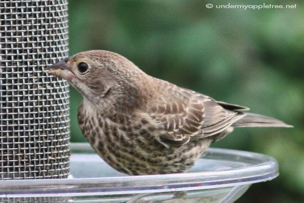 Juvenile Cowbird
