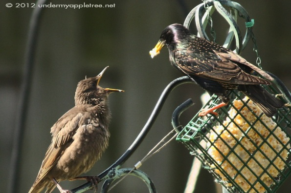 European Starling Fledgling