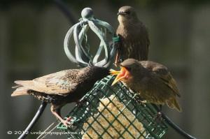 Fledgling Starlings