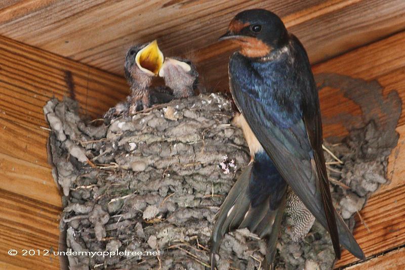 Barn Swallow Babies Food
