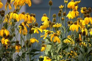 Tall Yellow Coneflower in my backyard. Can you see the Goldfinch?