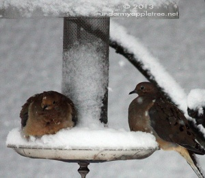 Snowy Mourning Doves