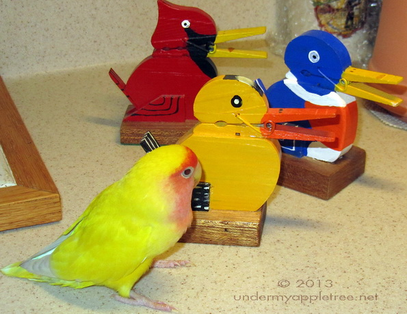 Charlie the Lovebird