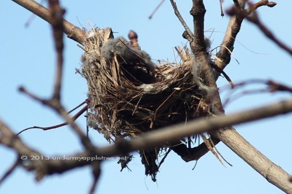 Goldfinch Nest