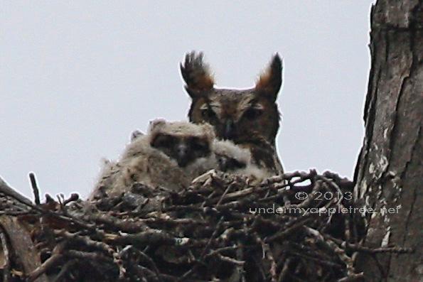 Great-horned Owl Nest