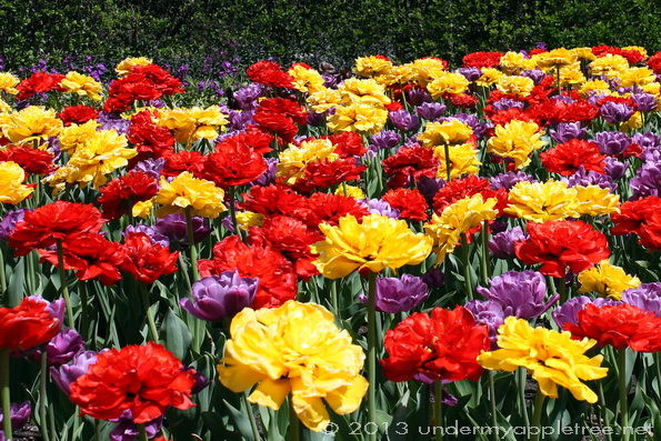 Cantigny Gardens Tulips