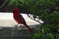 CardinalAtTheBath-sml_IMG_7804