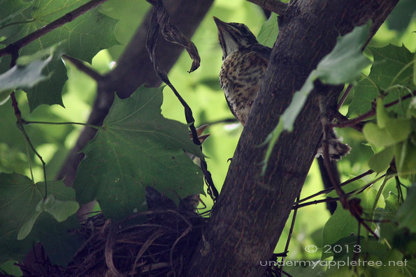 Fledgling Robin Leaving Nest