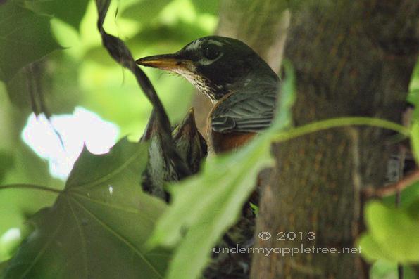 Robin's Nest in Maple Tree