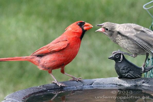 Cardinal feeding Cowbird