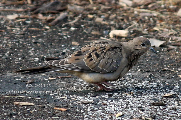 Juvenile Mourning Dove