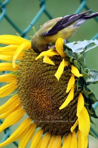 Sunflower-Goldfinch_IMG_9255