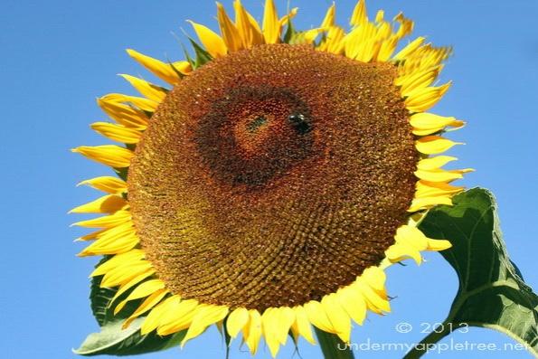 -Sunflower_sml_IMG_9274