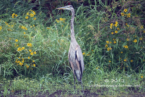 Great Blue Heron Juvenile