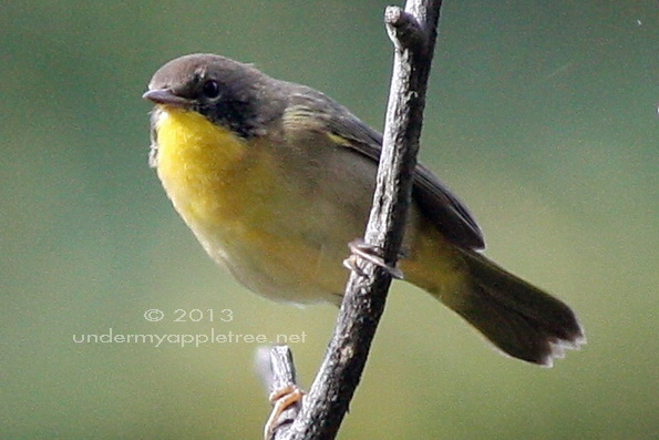 Common Yellowthroat Immature Male