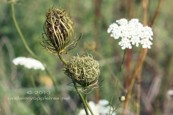 Apples And Queen Annes Lace >> Wordless Wednesday Queen Anne S Lace In Transition Under My Apple