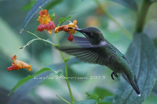 Male Ruby-throated Hummingbird_IMG_9729