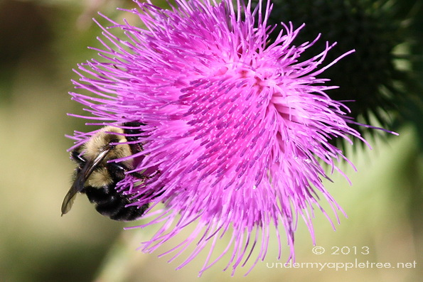Bee on Canada Thistle