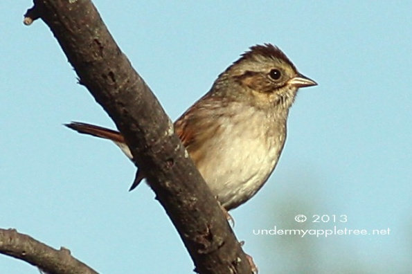 SwampSparrow-sml_IMG_9951