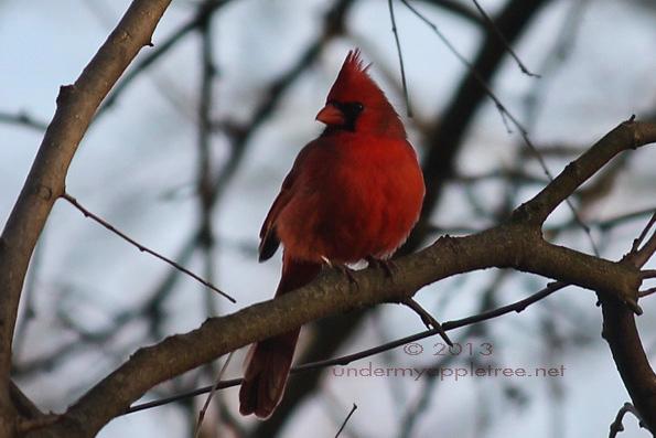 Cardinal_IMG_0393