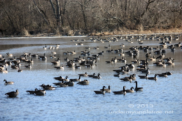 Canada Geese on DuPage River
