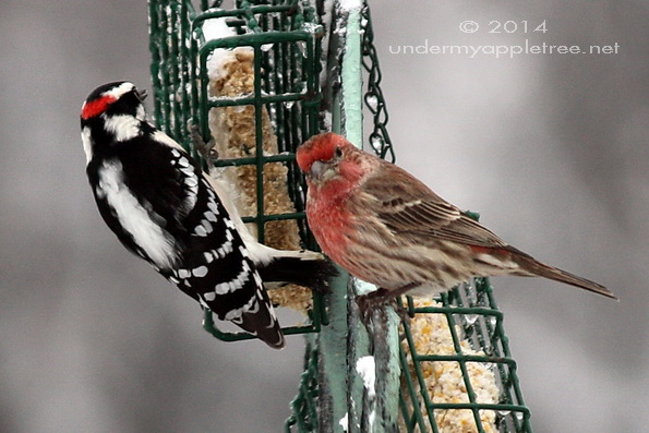 Downy Woodpecker and House Finch