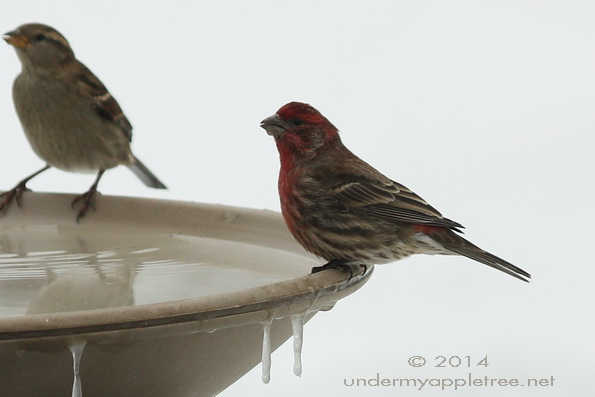 House Finch on Birdbath