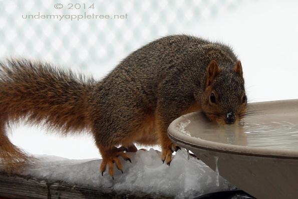 Squirrel in Birdbath