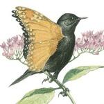 Monarch Warbler  © John Sill.