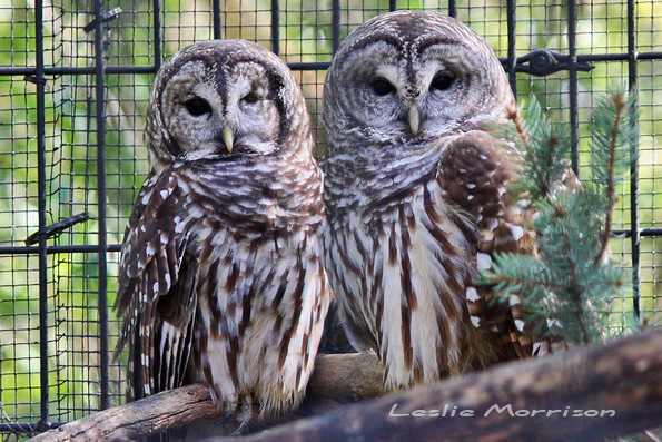 Barred Owls