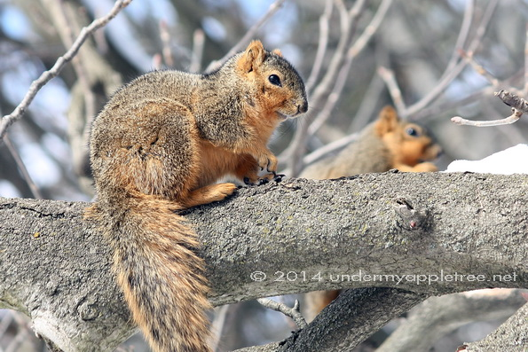 Fox Squirrels