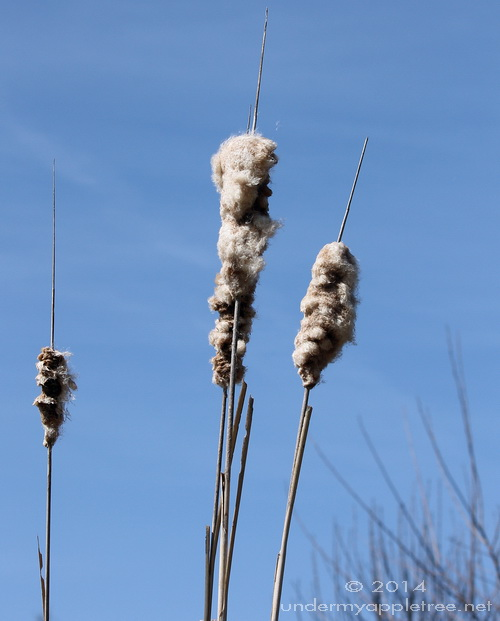 Cattails_IMG_1043