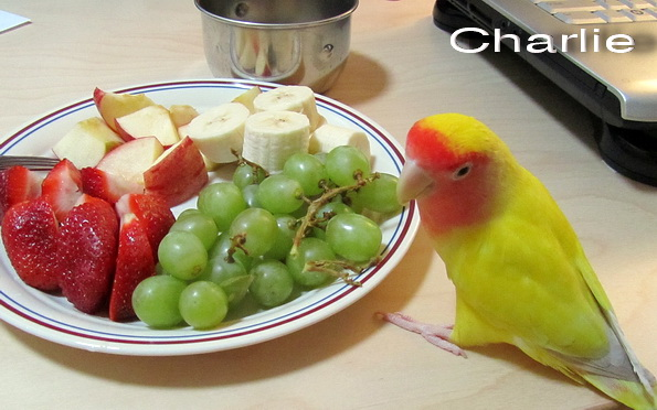 Charlie the Lovebird