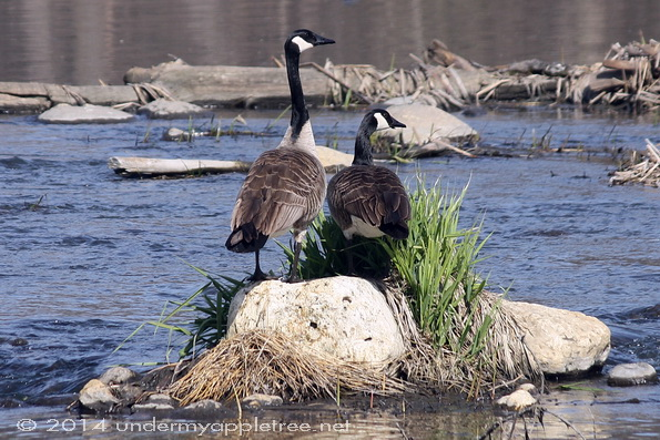 Geese_DupageRiver_IMG_1223