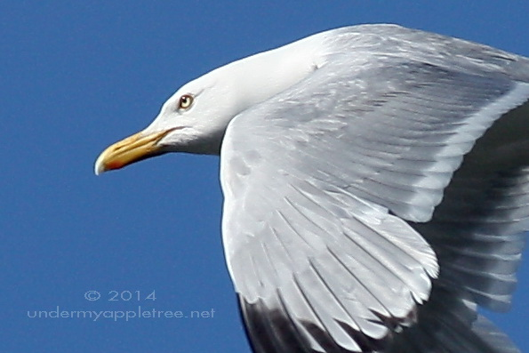 HerringGull-closeup_IMG_2103