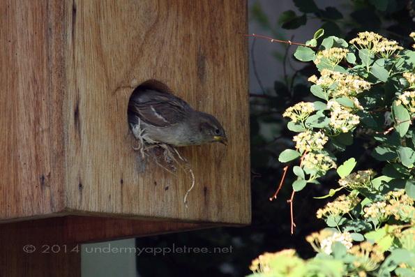House Sparrow Nestling