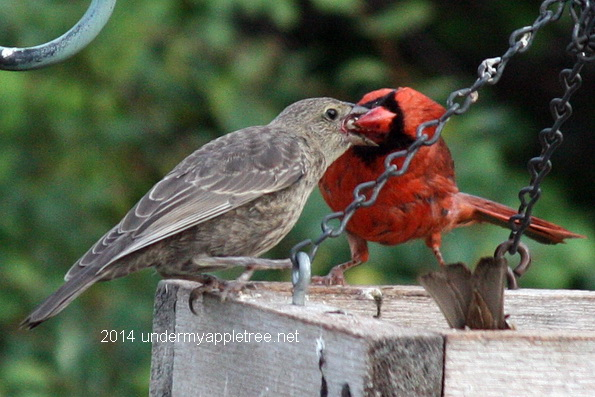 What does a cardinal look like