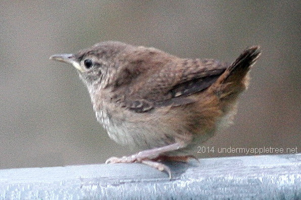 Fledgling House Wren