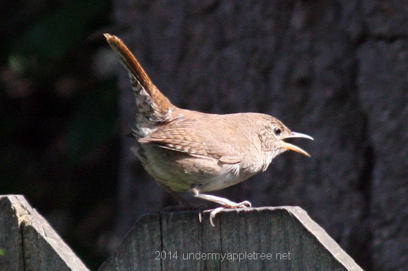 Female House Wren